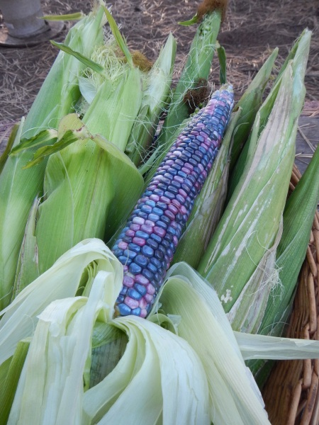 hopi blue corn sept 2014
