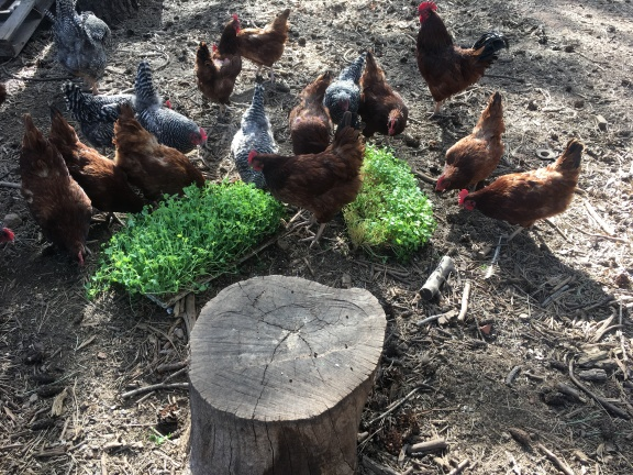 chickens 2018