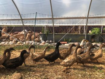 Ducks greenhouse 2018